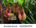 Pitcher Plants In A Greenhouse