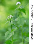 Small photo of Garlic mustard, Alliaria petiolata, the fresh leafs of this plant can be used in salads