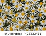 Chamomile Flowers  California
