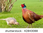 Male Pheasant Admiring Pecking...