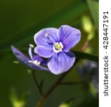 Small photo of Veronica officinalis blue flower alias storm flower