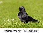 western jackdaw  corvus monedula | Shutterstock . vector #428504101
