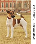 Smooth Fox Terriers In The...