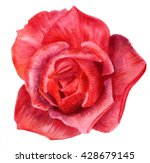 Stock photo a watercolor drawing of a red rose hand painted on white background 428679145