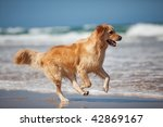 Stock photo focused young golden retriever running on the beach 42869167