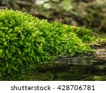Dense And Lush Forest Moss...