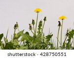 dandelion flowers on a white... | Shutterstock . vector #428750551