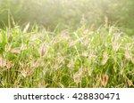 grass flower  soft focus ...   Shutterstock . vector #428830471