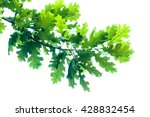 Oak Branch Isolated On White...
