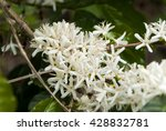 coffee tree blossom with white... | Shutterstock . vector #428832781