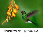 Hummingbird With Orange Flower...