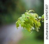 wet green leafes after rain | Shutterstock . vector #428907307