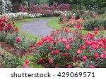 a blur of a rose garden in the... | Shutterstock . vector #429069571