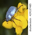 Small photo of Male of Hoplia coerulea, a species of scarabaeid beetle belonging to the subfamily Melolonthinae. This beetle can be found in Southwest Europe