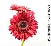 Red Gerbera Daisy Isolated On...