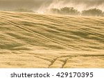 Mowed Field Of Buckwheat With ...