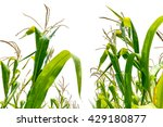 Corn Field Close Up In Farm