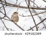 sparrow or  passeridae. small... | Shutterstock . vector #429182389
