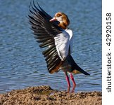 Egyptian Goose Drying His Wings ...