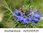 Small photo of Honey-bee from behind with raised leg on love-in-a-mist blue flower shallow depth of field