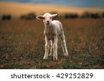 Lamb In Field  South Africa