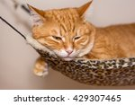 Sleepy Ginger Cat Lazily Lying...