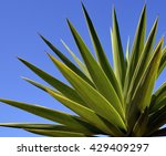agave tequilana plant to... | Shutterstock . vector #429409297