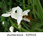 dragonfly | Shutterstock . vector #429410