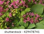 A Weigela Bush Blooms In...
