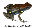 Small photo of Ecuadorian Poison Frog (Ameerega bilingua)