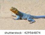 Common Collared Lizard ...