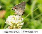 Tiny Gray Hairstreak Butterfly...