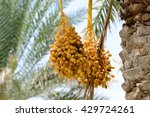 Cluster Of Dates Hanging From ...