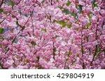 Sakura Blossom Background With...