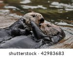 two otters hugging and playing... | Shutterstock . vector #42983683