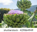 Artichoke Head With Flower In...