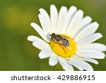 Bee On Chamomile Collecting...