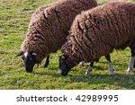 Balwen Welsh Mountain Sheep...