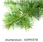 Small photo of Abies balsamea on white background