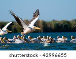pelicans taking off | Shutterstock . vector #42996655