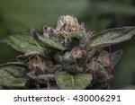 Gorgeous Purple Cannabis Flower