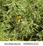 Small photo of Yellow Warbler/An American Yellow Warbler (Setophaga petechial) perched in the dense growth of a willow tree in York County Pennsylvania, USA.