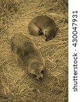 Small photo of Seal Pinnipeds semi aquatic marine mammals animal part of Mammalia aka mammals - vintage sepia look