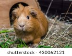 Portrait Of Red Guinea Pig....