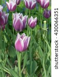Small photo of The violet Tulip Synaeda Blue is great accentuated with a pure white edge, This is a Triumph Tulip