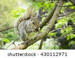 Eastern Gray Squirrel  Grey ...