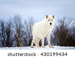 Lone Arctic Wolf Isolated