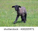Black Suffolk Lamb On A Spring...