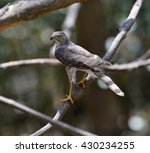 Small photo of Besra (Accipiter virgatus), a bird of prey, is looking for the food in the forest of Thailand.