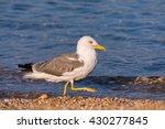 Seagull Walking On The Beach  ...